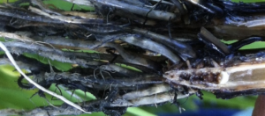 hydrogen sulfide toxicity in rice