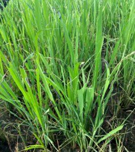 fall armyworm feeding on rice