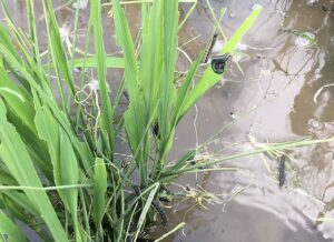 armyworms on rice