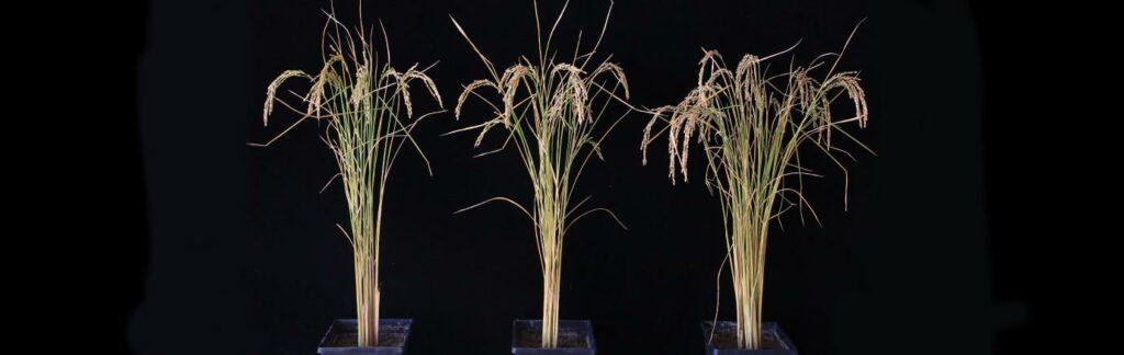 RNA in rice