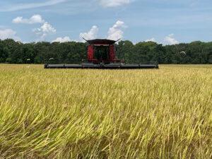 rice harvest along the Gulf Coast
