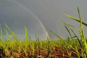 rainbow over a sustainable rice field