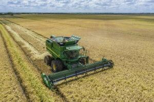 schiurring rice harvest